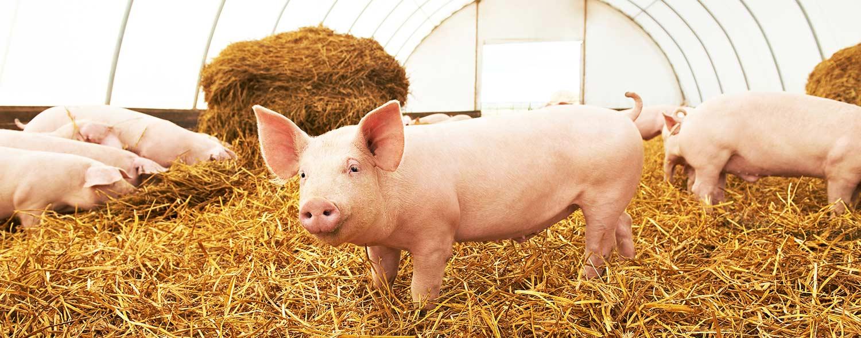 benessere animale allevamento su paglia